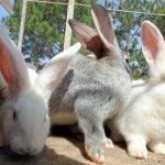 Criação de coelhos para corte